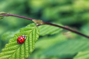 ladybug-on-green-leaf