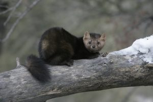Image of an American Pine Marten