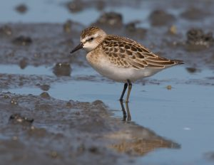 Image of a Semipalmated Sandpiper