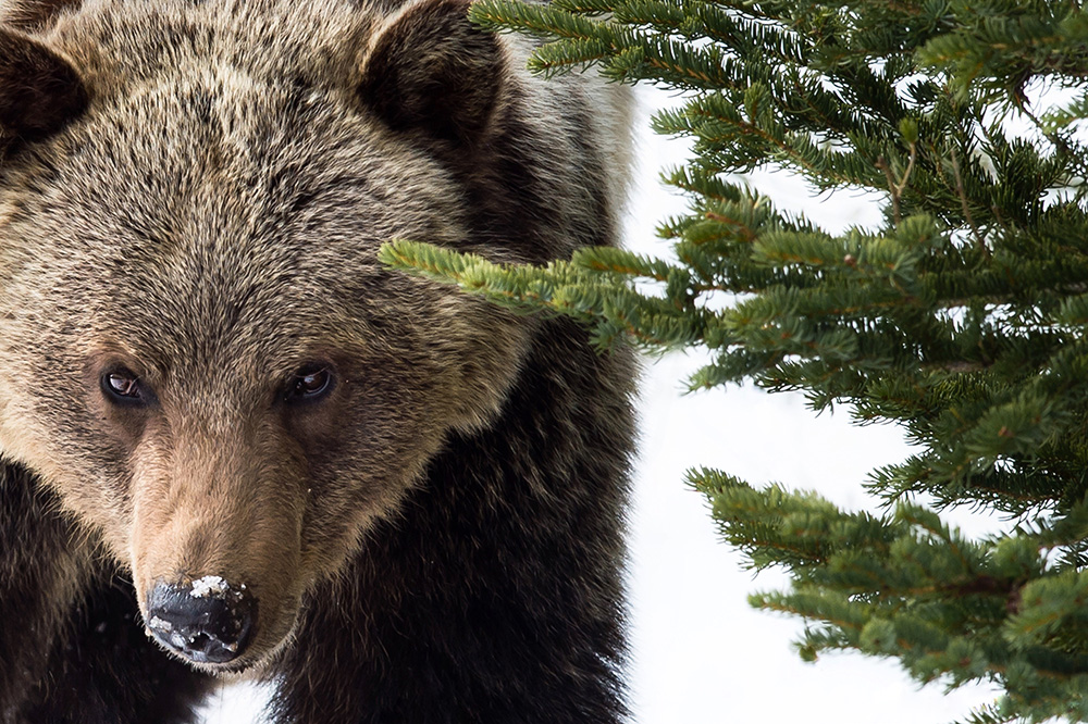 Image of Grizzly Bear by Kinan Echtay