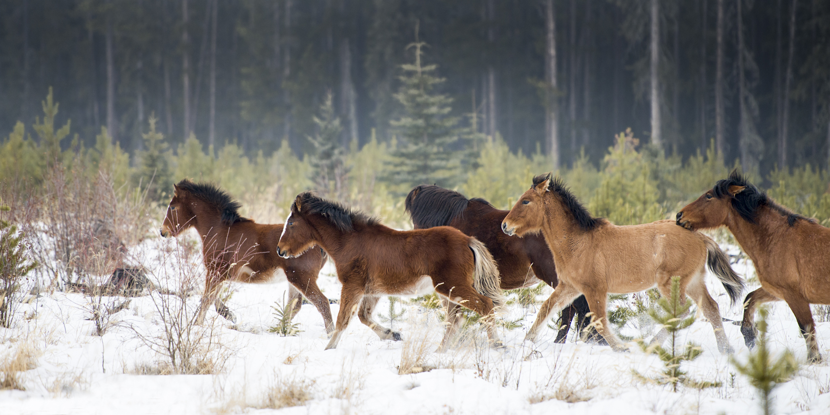 2018:The Year to See Alberta's Wild Horses