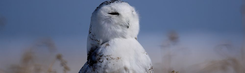 The Magnificent Snowy Owl