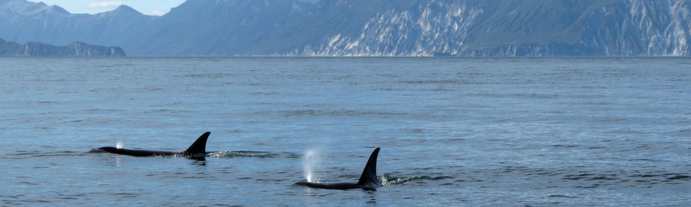 Killer Whales in the Canadian Arctic – A New Force to Contend With