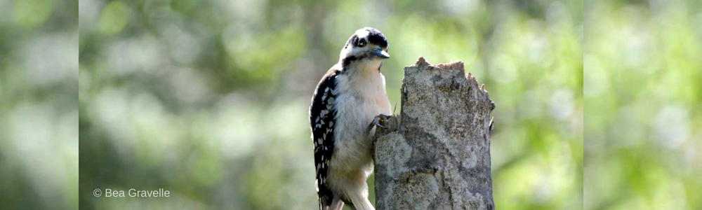 Downy Woodpeckers: Fantastic Beasts and Where to Find Them Eh?