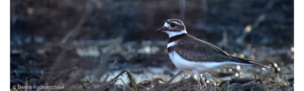 The Killdeer Bird, and its Real Estate in the Capital