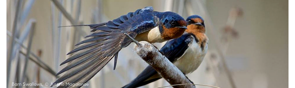 Nature Canada kicks off work to save Ontario's swallows