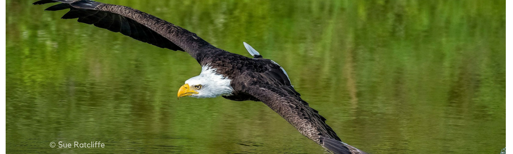 August Calendar Image: The Bald Eagle