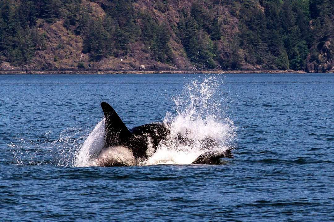Federal Government Fails Endangered Orcas