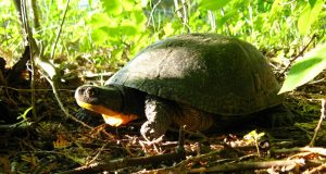 Image of a Blanding's Turtle