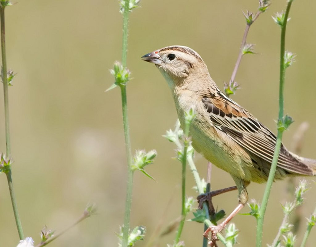 Image of a Female Bobolink