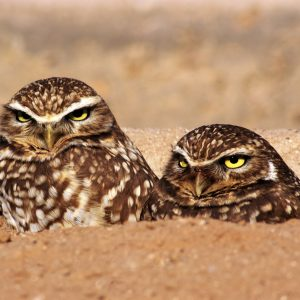 A pair of burrowing owls in their burrow.