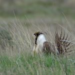 Image of a Greater Sage-Grouse