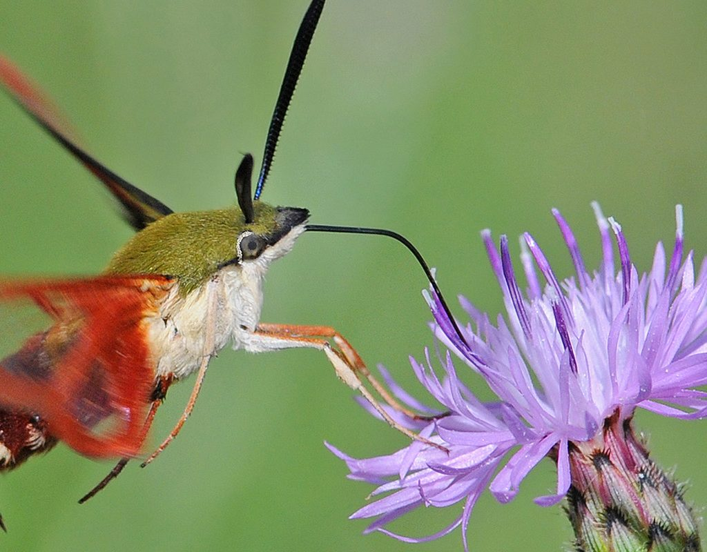 Hummingbird Moth by Tom Lusk