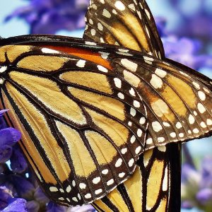 Monarch Butterflies by ManKay Koon