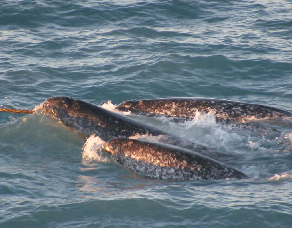 Image of a Narwhal