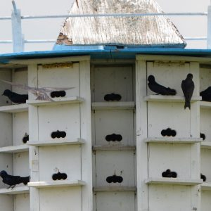 Image of Purple Martin House