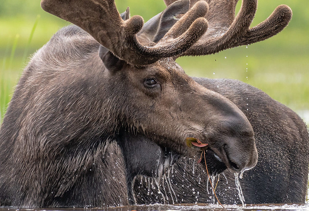 Image of Spring Bull Moose by Ron Simpson