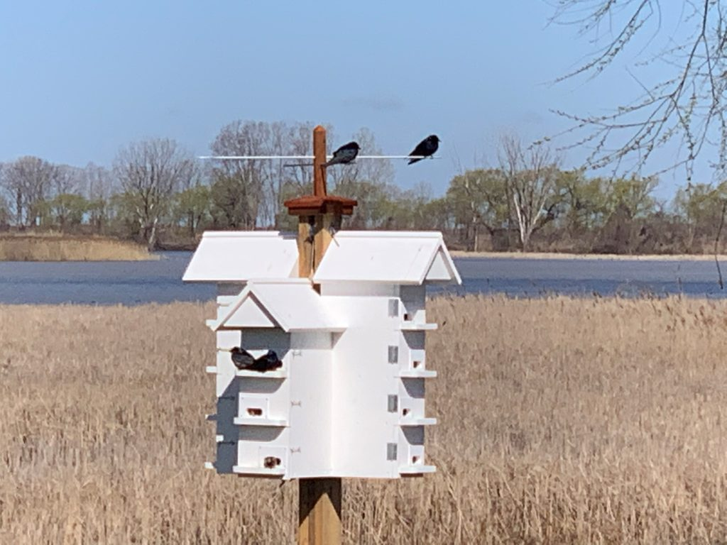 Installing Purple Martin Housing Units in Southern Ontario