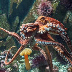 Image of a Giant Pacific Octopus