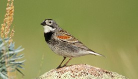 Disappearing Act: Grassland Birds Are Running Out of Time.