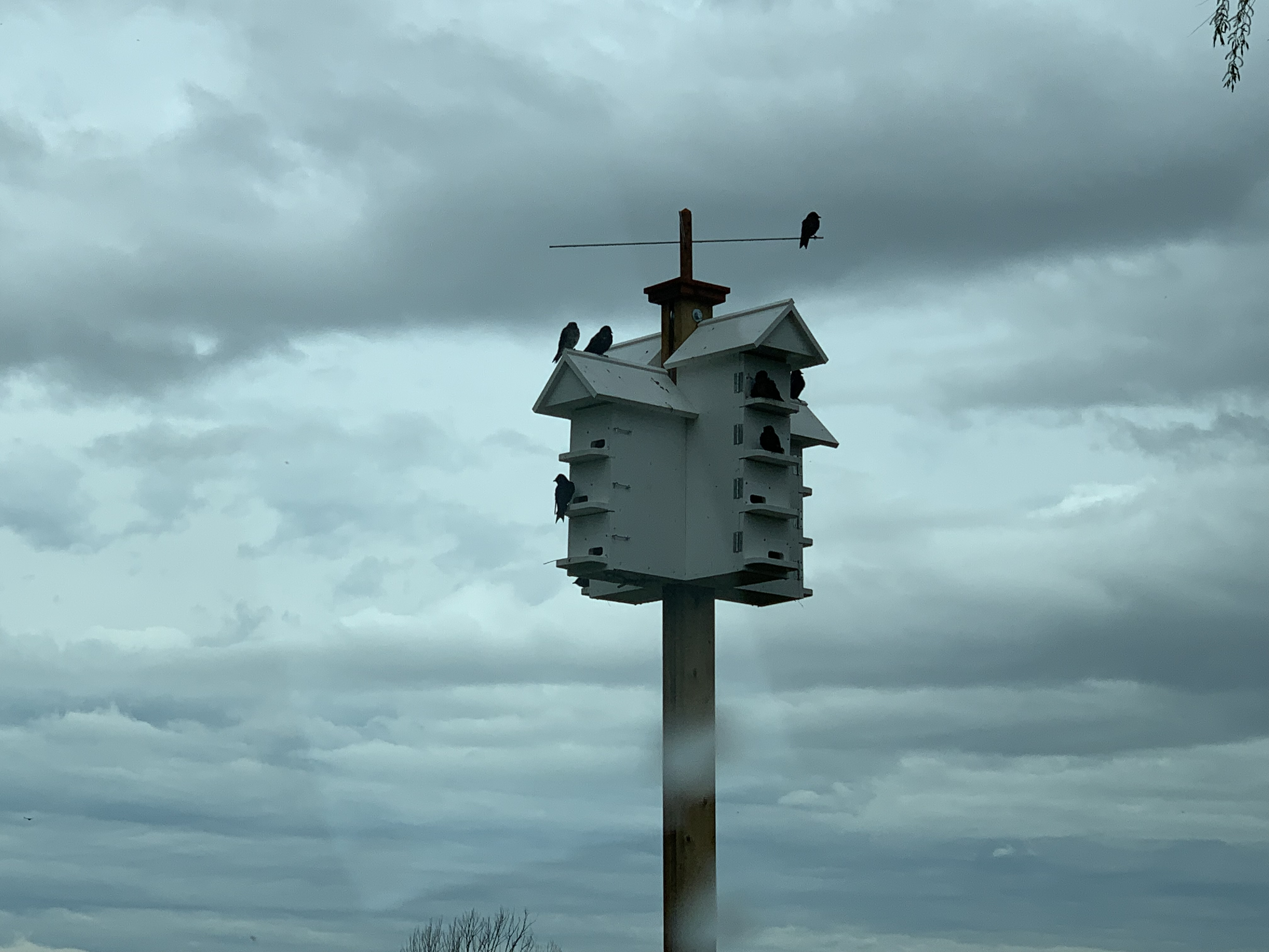 Reaping the Rewards: Purple Martin Housing a Success!
