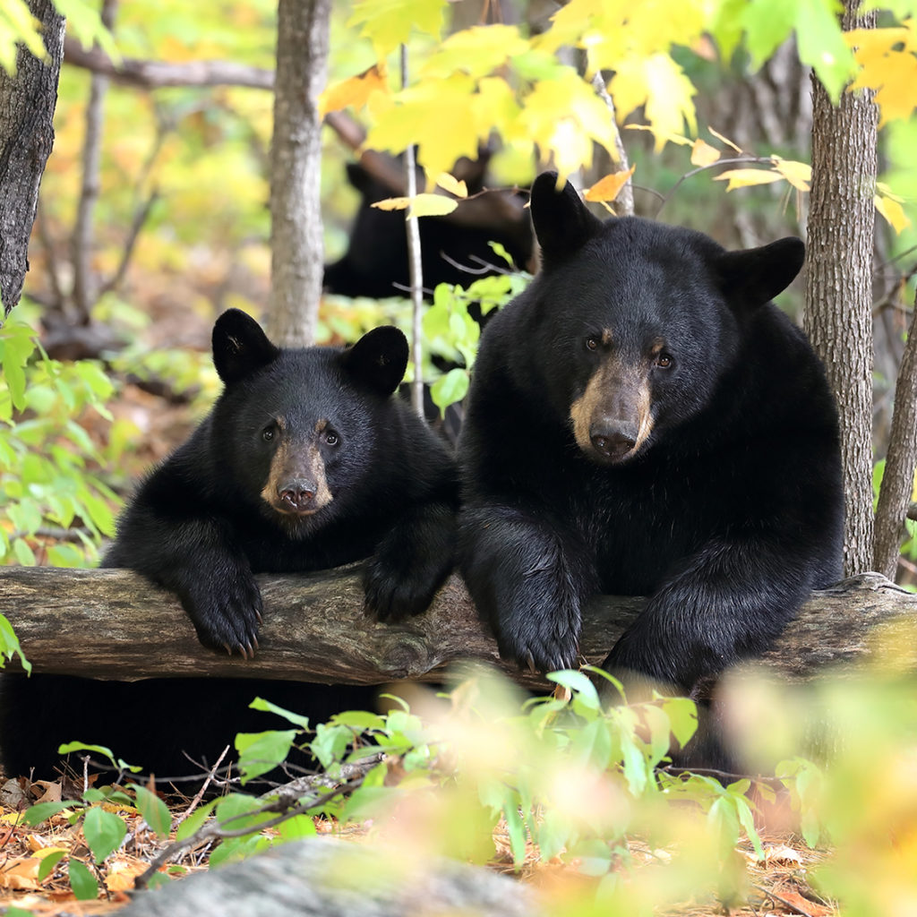 Image of two black bears on a log