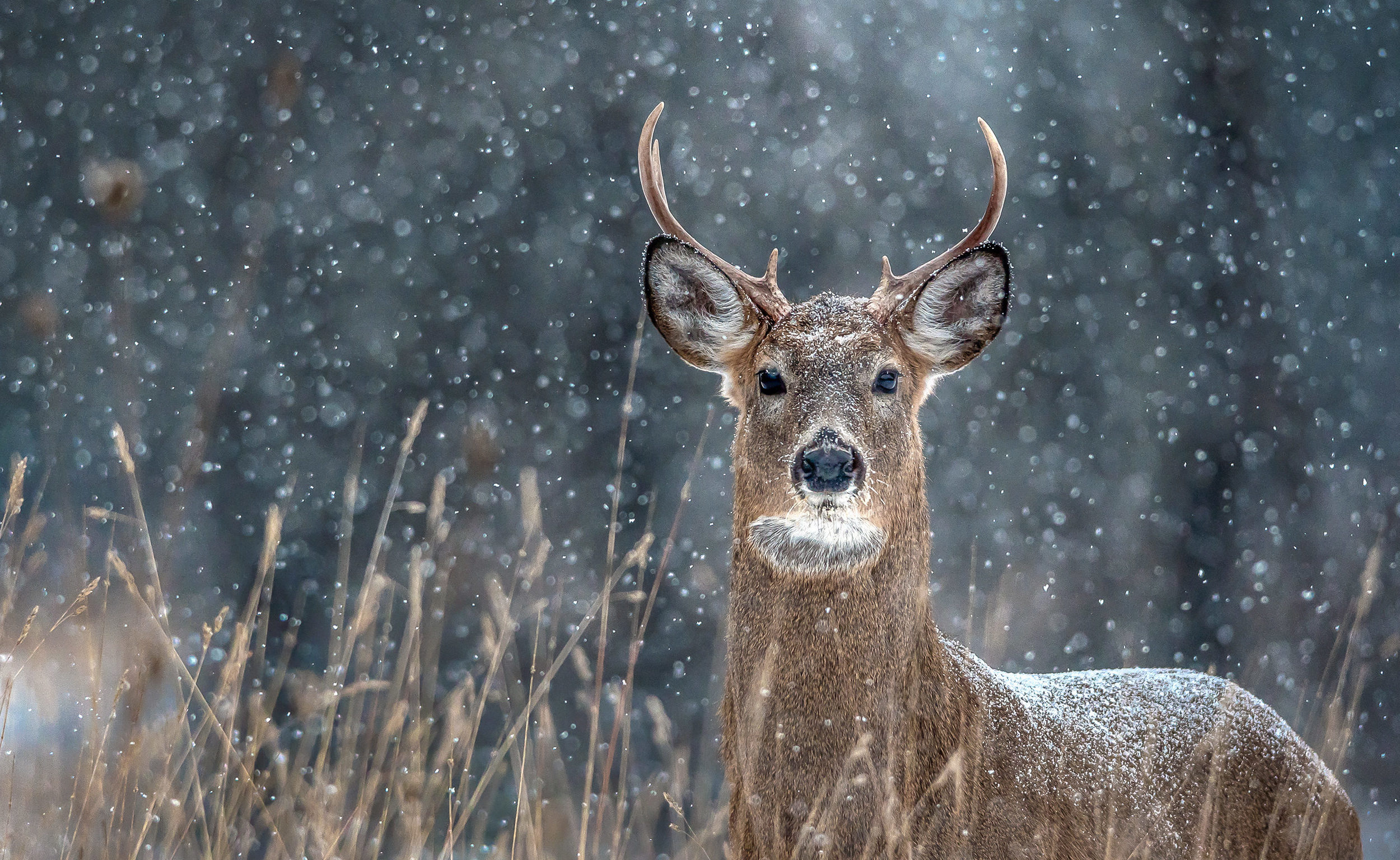 Spotting White-Tailed Deer in your Neighbourhood