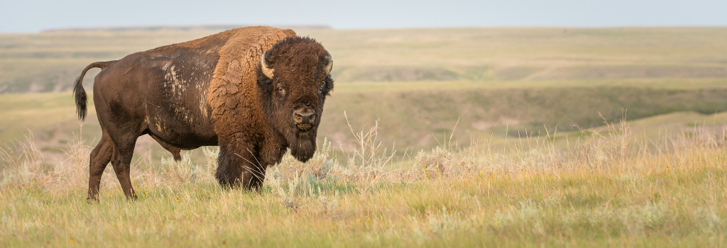 Bison in grasslands