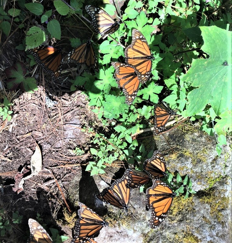 Monarch butterflies in Mexico
