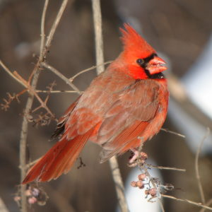 Image of a Northern Cardinal Bird