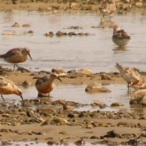 Red Knots on Strutton