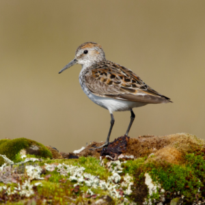 The Western Sandpiper (pictured), Peregrine Falcons, Barn Swallows, and a rare coastal subspecies of Great Blue Heron are just some of the species at risk.
