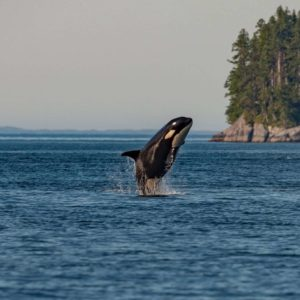 The Southern Resident Killer Whale (pictured), Peregrine Falcons, and Barn Swallows are just some of the species at risk.