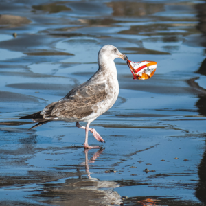 Seagull with garbage - Blue Economy Strategy