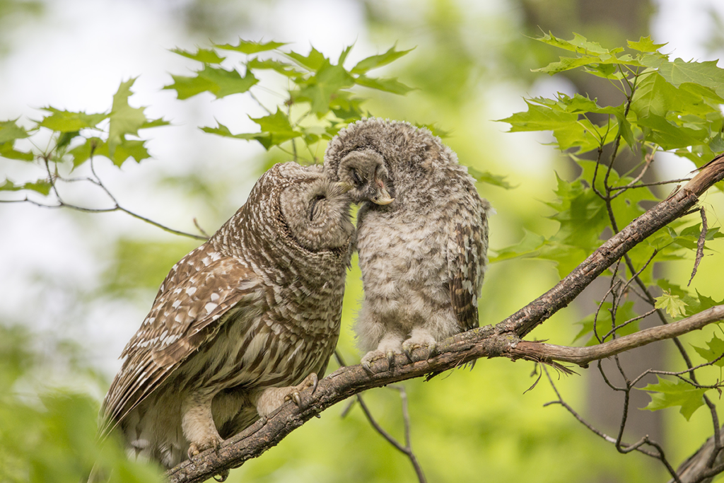 Who's There? Meet North America's Barred Owl