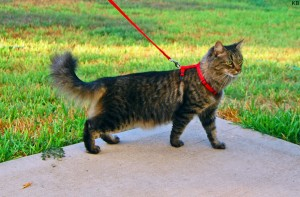 Cat_harness_and_leash_Credit_Kathy_Brown