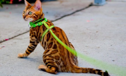 Harness Training your Cat
