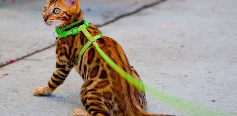 Leash-Training Your Cat