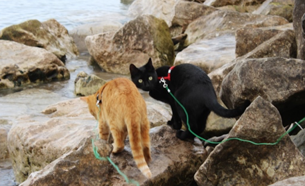 Leash Training your Cat